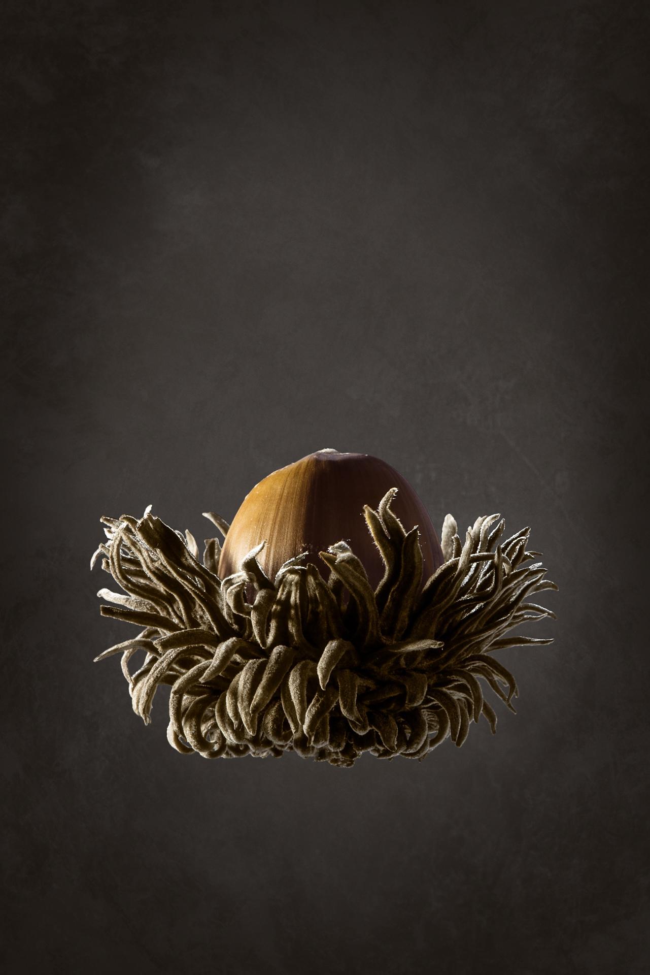 Burr-acorn